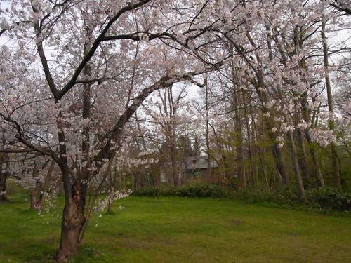 植物園桜.jpg